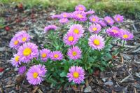 Aster alpinus Happy End